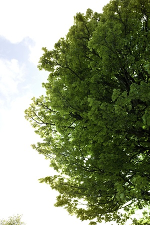 county tipperary: lush maple tree growing in the wild in glenough county tipperary ireland