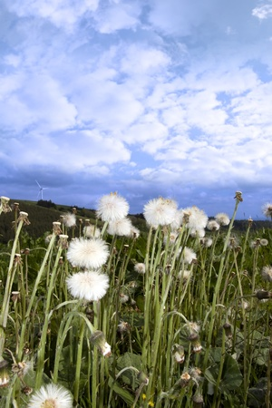 county tipperary: wild dandelions in lush irish countryside landscape at glenough county tipperary ireland