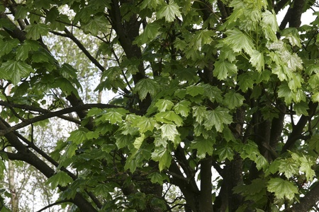county tipperary: lush maple leaves growing in the wild in glenough county tipperary ireland