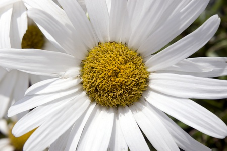 Wild daisy in the irish countryside photo