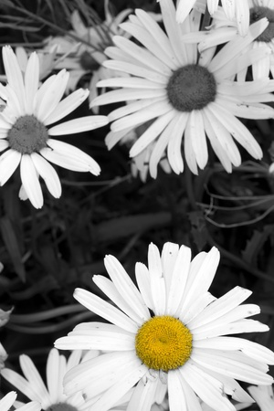 exception: Wild daisies in the irish countryside in black and white  with the exception of one daisy