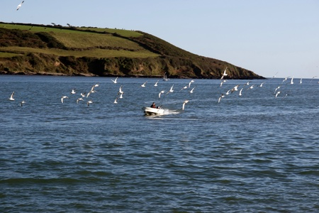 youghal: fishing boat surrounded by seagulls coming home with its catch