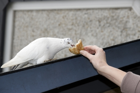 white dove perched on a slated roof with cloudy blue sky feeding on hand held crust photo