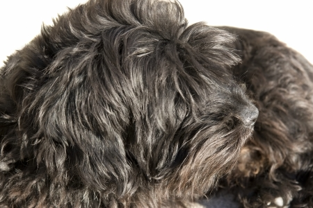 beg: a close up of a scottish terrier Stock Photo