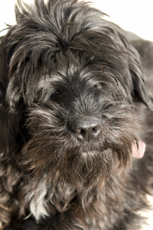 a close up of a scottish terrier Stock Photo - 16551693