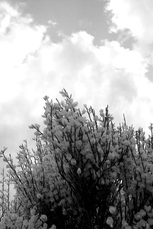 flower gorse un irlands comn amarillo retama arbusto en un da soleado de primavera en