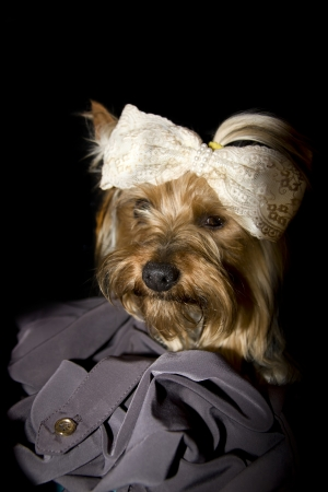 adorable portrait of a toy Yorkshire terrier with bow and ponytail isolated on black background photo