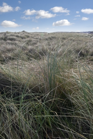 tall green grass on the dunes of a golf course in county Donegal, Ireland photo