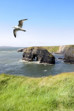 a view from the cliffs in Ballybunion county Kerry Ireland of the Virgin rock and coast and a seagull in an updraught photo