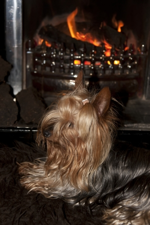 a shot of a tiny cupcake yorkie dog sitting cosy on a carpet in front of a roaring fire Stock Photo - 22569864