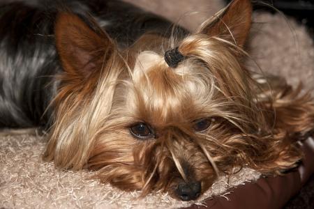 yorkie: a teacup yorkie terrier resting in its basket