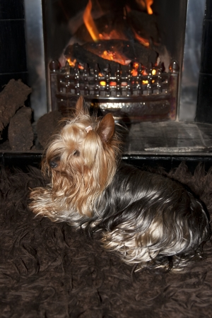 a shot of a tiny cupcake yorkie dog sitting cosy on a carpet in front of a roaring fire Stock Photo - 22569964