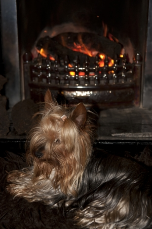 a shot of a tiny cupcake yorkie dog sitting cosy on a carpet in front of a roaring fire Stock Photo - 22569637