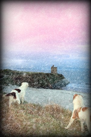 ballybunion: two dogs on the snowy clifftop viewing the sunset and castle in ballybunion county kerry ireland