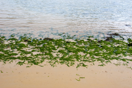 youghal: bright green seaweed on the shore in Youghal county Cork Ireland