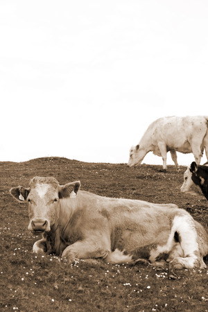 cattle feeding on the green grass of county Kerry Ireland on the wild atlantic way in sepia photo