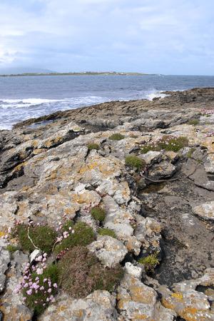 coastal pink wildflowers on the wild atlantic way in county Kerry Ireland photo