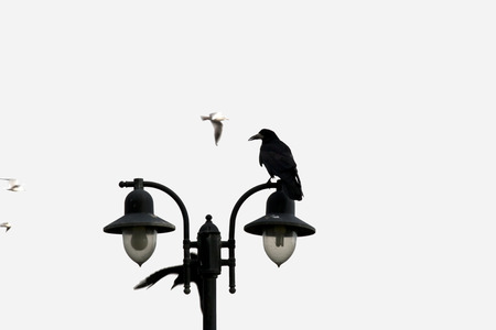 youghal: big crow perched on top of a double streetlight in Ireland
