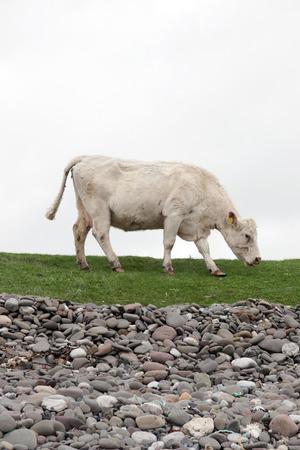 lone cow feeding on the coastal green grass of county Kerry Ireland on the wild atlantic way photo