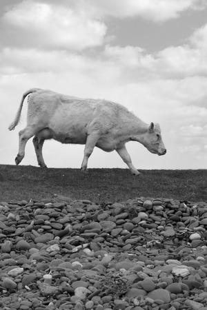 lone cow feeding off the green grass of county Kerry Ireland on the wild atlantic way in black and white Stock Photo