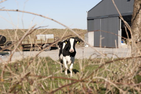 sheds: single cow in front of farm sheds in its yard