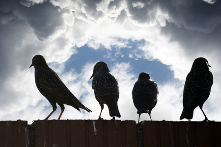 wall clouds: silhouette of starlings on a wall against a stormy clouds