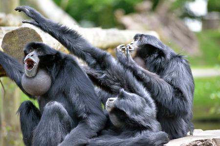 siamang: Siamang Gibbon family screaming in fota wildlife park near cobh county cork ireland