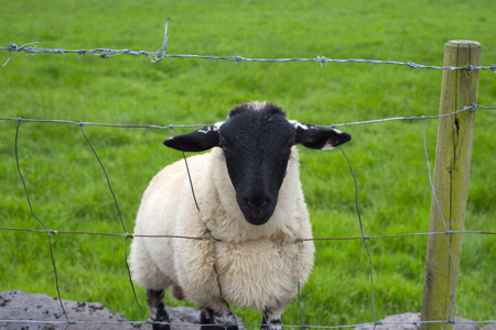 peering: lone irish sheep peering through a wire fence Stock Photo