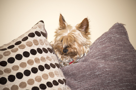 yorkie: young mini yorkie dog looking out between the cushions Stock Photo