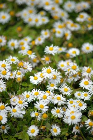 daisys: beautiful daisies in the spring season in ireland Stock Photo