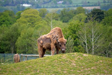 big cork: European Bison in wildlife park near cobh county cork ireland Stock Photo