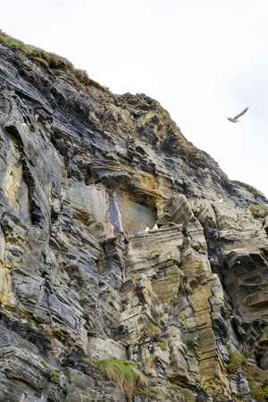 cliff face: gulls nesting on a cliff face in Ballybunion county Kerry Ireland