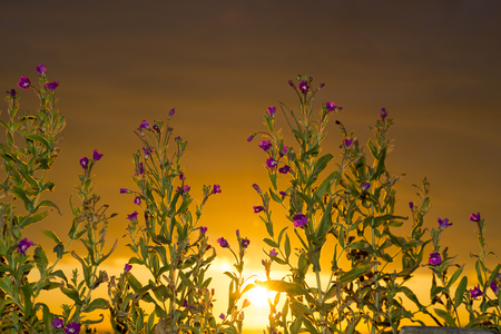 beautiful sunset through the wild  coastal flowers on the wild atlantic way