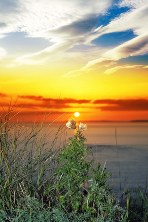 beautiful yellow sunset over loop head with the wild tall thistles on the wild atlantic way in ireland Stock Photo