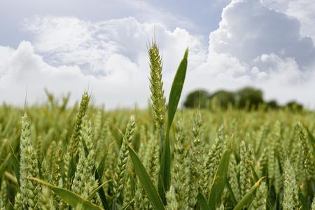 barley crop on an irish farm Stock Photo
