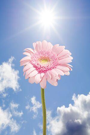 single pink gerbera flower upright against the sunny sky