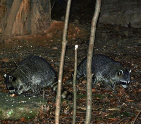 coons: raccoons
