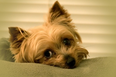 cur: yorkshire terrier