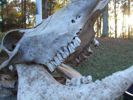 molars: f�siles  Foto de archivo