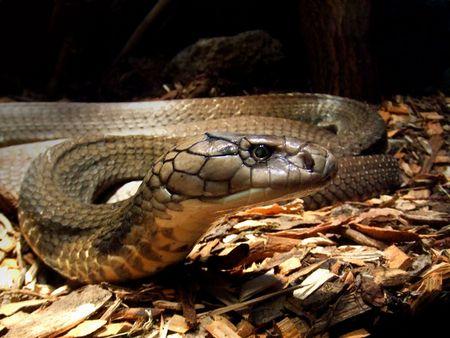 squamata: king cobra Stock Photo