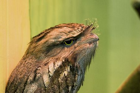 tawny: tawny frogmouth owl