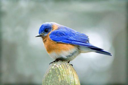 budgie: male bluebird