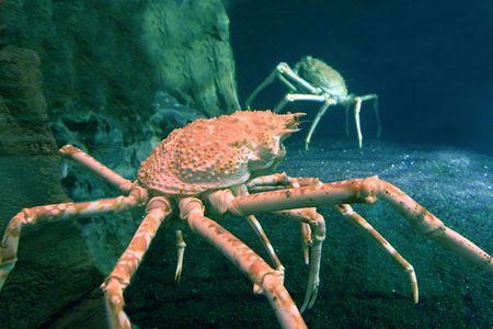 alaskan king crab photo
