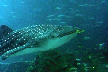 hammerhead: squalo balena