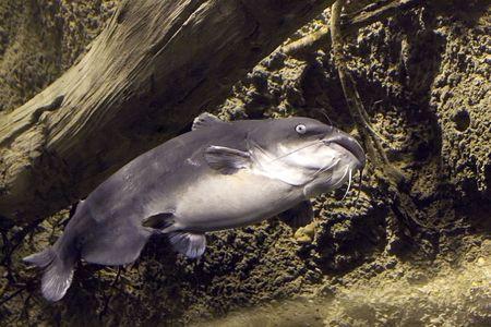 blue catfish Stock Photo - 330641