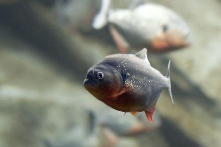 red bellied piranha 免版税图像