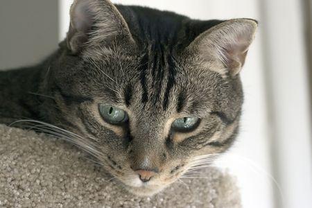 gato atigrado: tabby cat en el pensamiento