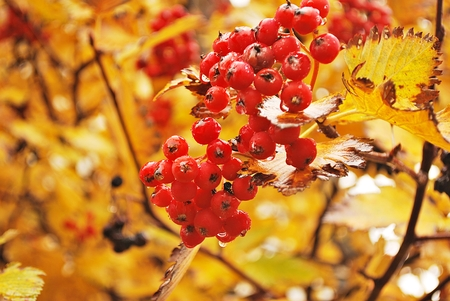 sorb: Close up Bright rowan berries on a tree with yellow leaves