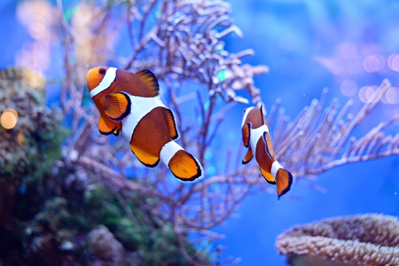 Clownfish, Amphiprioninae, in aquarium tank with reef as background Stock Photo