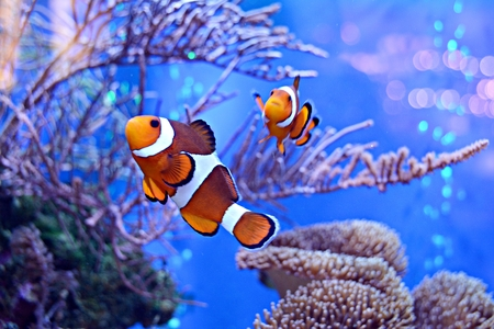 Błazenki, Amphiprioninae, w akwarium z rafą w tle
